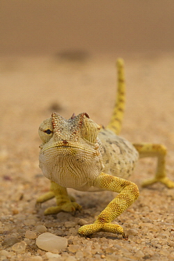 Namaqua Chameleon (Chamaeleo namaquensis) showing eyes going in different directions, Namibia