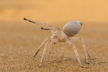 Dancing White Lady Spider (Leucorchestris arenicola) in defensive posture, Namib Desert, Namibia