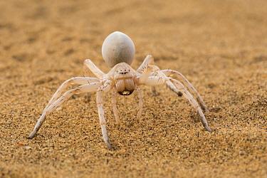 Dancing White Lady Spider (Leucorchestris arenicola), Namib Desert, Namibia