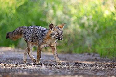 Common Gray Fox (Urocyon cinereoargenteus) trotting on dirt road, Palo Alto, Bay Area, California