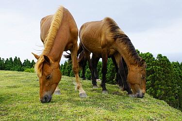 Wild Horse (Equus caballus) pair grazing, Miyazaki, Japan