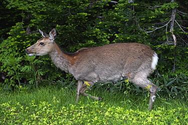Sika Deer (Cervus nippon), Shiretoko, Hokkaido, Japan