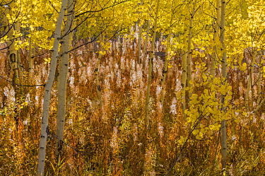 Quaking Aspen (Populus tremuloides) trees in fall with Fireweed (Chamerion angustifolium) seedheads, Grand Teton National Park, Wyoming