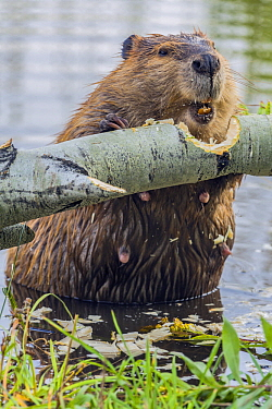 American Beaver (Castor canadensis) feeding on Quaking Aspen (Populus tremuloides), Grand Teton National Park, Wyoming