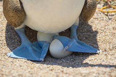 Blue-footed Booby (Sula nebouxii) incubating eggs, Santa Cruz Island, Galapagos Islands, Ecuador