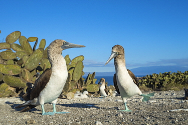 Blue-footed Booby (Sula nebouxii) pair courting, Punta Vicente Roca, Isabela Island, Galapagos Islands, Ecuador. Sequence 1 of 3