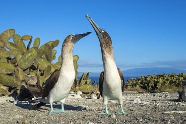 Blue-footed Booby (Sula nebouxii) pair courting, Punta Vicente Roca, Isabela Island, Galapagos Islands, Ecuador. Sequence 3 of 3