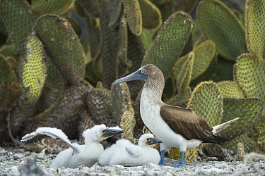 Blue-footed Booby (Sula nebouxii) parent and chicks, Punta Vicente Roca, Isabela Island, Galapagos Islands, Ecuador