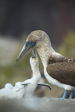 Blue-footed Booby (Sula nebouxii) chick begging for food from parent, Punta Vicente Roca, Isabela Island, Galapagos Islands, Ecuador