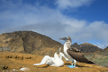 Blue-footed Booby (Sula nebouxii) parent and begging chick, Punta Pitt, San Cristobal Island, Galapagos Islands, Ecuador