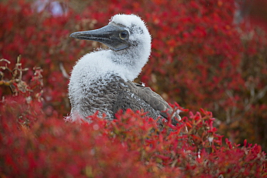 Blue-footed Booby (Sula nebouxii) chick, Punta Pitt, San Cristobal Island, Galapagos Islands, Ecuador