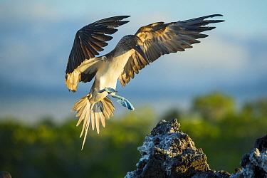 Blue-footed Booby (Sula nebouxii) landing, Turtle Cove, Santa Cruz Island, Galapagos Islands, Ecuador