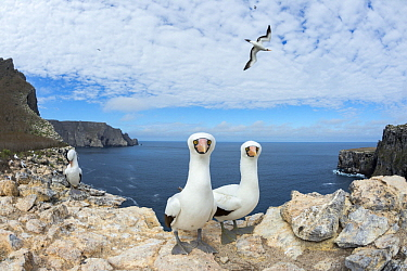 Nazca Booby (Sula granti) group on coast, Wolf Island, Galapagos Islands, Ecuador