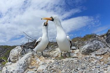Nazca Booby (Sula granti) pair building nest, Punta Suarez, Espanola Island, Galapagos Islands, Ecuador