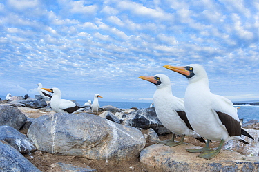 Nazca Booby (Sula granti) group on coast, Punta Suarez, Espanola Island, Galapagos Islands, Ecuador