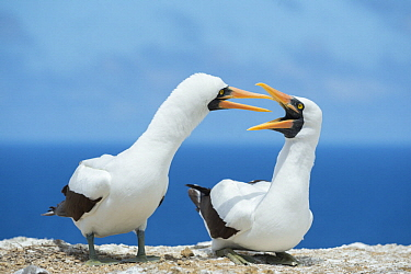 Nazca Booby (Sula granti) calling as part of courtship, Gardner Islet, Floreana Island, Galapagos Islands, Ecuador
