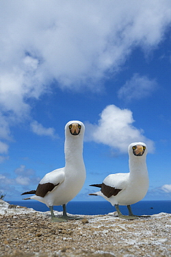 Nazca Booby (Sula granti) pair, Gardner Islet, Floreana Island, Galapagos Islands, Ecuador