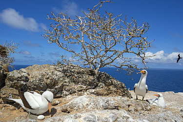 Nazca Booby (Sula granti) on nest with egg, Gardner Islet, Floreana Island, Galapagos Islands, Ecuador