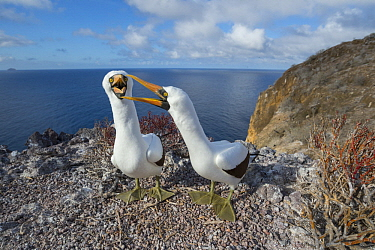 Nazca Booby (Sula granti) pair calling as part of courtship, Gardner Islet, Floreana Island, Galapagos Islands, Ecuador