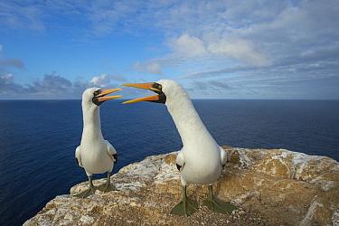 Nazca Booby (Sula granti) pair calling during courtship, Gardner Islet, Floreana Island, Galapagos Islands, Ecuador