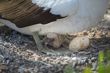 Nazca Booby (Sula granti) parent with chick and egg, Genovesa Island, Galapagos Islands, Ecuador