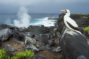 Nazca Booby (Sula granti) on coast, Punta Suarez, Espanola Island, Galapagos Islands, Ecuador