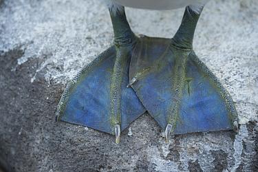 Nazca Booby (Sula granti) feet, Punta Suarez, Espanola Island, Galapagos Islands, Ecuador