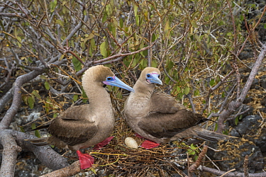 Red-footed Booby (Sula sula) pair at nest with egg, Genovesa Island, Galapagos Islands, Ecuador