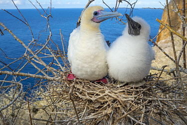 Red-footed Booby (Sula sula) chicks of different ages in nest, Gardner Islet, Floreana Island, Galapagos Islands, Ecuador