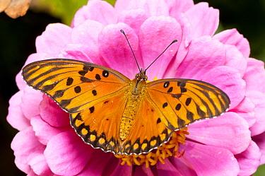 Gulf Fritillary (Agraulis vanillae) butterfly on Zinnia (Zinnia sp) flower, Bahia Blanca, Argentina