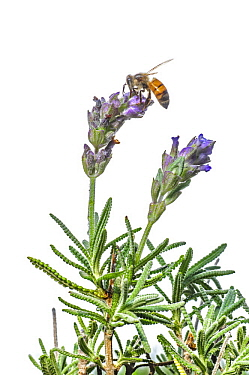 Honey Bee (Apis mellifera) feeding on Lavender (Lavandula sp) flower nectar, Argentina