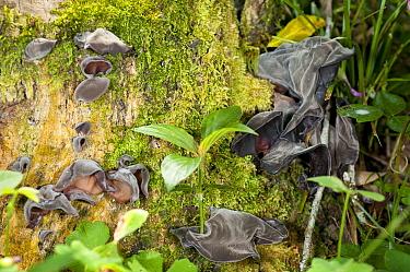 Fungus (Auricularia sp) on tree, Argentina