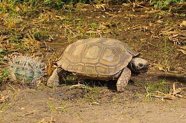 Chaco Tortoise (Geochelone chilensis), Bahia Blanca, Argentina
