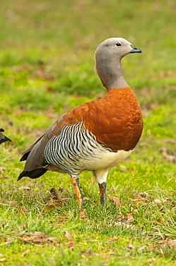 Ashy-headed Goose (Chloephaga poliocephala), San Carlos de Bariloche, Argentina