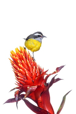 Bananaquit (Coereba flaveola) on flower, Argentina