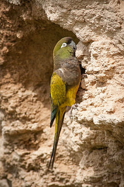 Burrowing Parrot (Cyanoliseus patagonus) at burrow, Bahia Blanca, Argentina