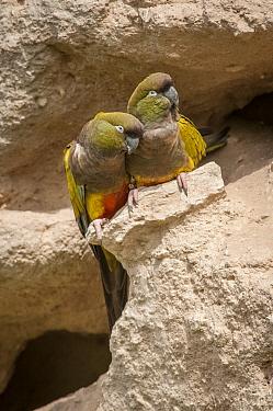Burrowing Parrot (Cyanoliseus patagonus) pair, Bahia Blanca, Argentina