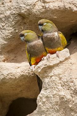 Burrowing Parrot (Cyanoliseus patagonus) pair at burrow, Bahia Blanca, Argentina