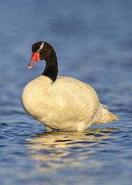 Black-necked Swan (Cygnus melancoryphus), Argentina
