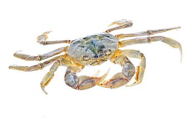 Crab (Cyrtograpsus angulatus), Argentina