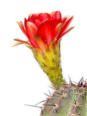 Cactus (Echinopsis aurea) flowering, Bahia Blanca, Argentina