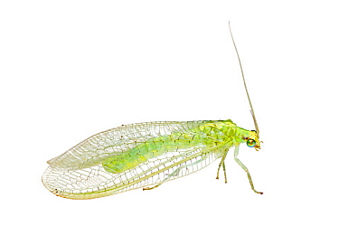 Green Lacewing (Chrysopidae), Argentina