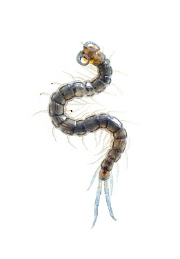 Centipede (Scolopendridae), Pedro Luro, Argentina