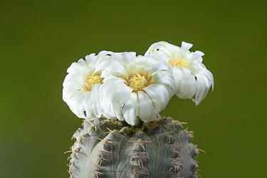 Quehla Chin Cactus (Gymnocalycium quehlianum) flowering, Bahia Blanca, Argentina