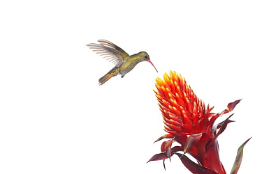 Gilded Hummingbird (Hylocharis chrysura) feeding on flower nectar, Argentina