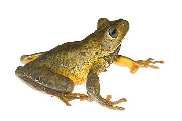 Blacksmith Tree Frog (Hypsiboas faber), Argentina