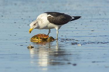 Kelp Gull (Larus dominicanus) feeding on crab carcass, Bahia Blanca, Argentina