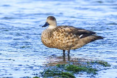 Crested Duck (Lophonetta specularioides), Puerto Madryn, Argentina