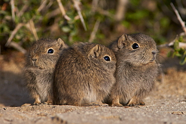 Southern Mountain Cavy (Microcavia australis) young huddling, Puerto Madryn, Argentina