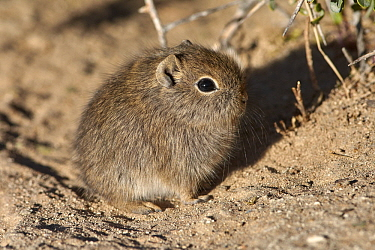 Southern Mountain Cavy (Microcavia australis) young, Puerto Madryn, Argentina
